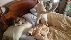 My alarm clock (twm1340) Tags: stuart yellow lab labrador retriever dog puppy shih tsu tzu rocky bed