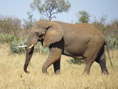 After the roll in the mud  ( elephant  /  olifant ) (Pixi2011) Tags: elephants krugernationalpark southafrica africa wildlifeafrica wildanimals nature animals big5 shingwedzi
