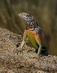 Greater earless lizard (Eric Gofreed) Tags: arizona cophosaurustexanus greaterearlesslizard lizard yavapaicounty