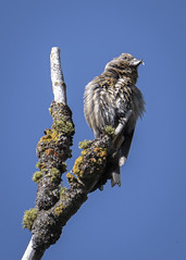 CrazyBill (TW Olympia) Tags: red crossbill turnbull national wildlife refuge