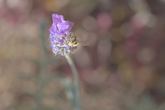 Honey Bee and Lavender MKIII (59ling) Tags: honey bees lavender macro bokeh afternoon sony a6500