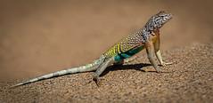 Greater earless lizard (Eric Gofreed) Tags: cophosaurustexanus arizona greaterearlesslizard lizard yavapaicounty