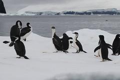Antarctic Cormorants (phalacrocorax bransfieldensis) with Adelie Penguins on the ice (Paul Cottis) Tags: paulcottis 1 february 2019 feb antarctica antarcticpeninsula ice iceberg ocean cormorant shag seabird cormoran antartico adelie penguin pinguino de adelia