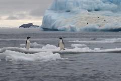 Two Adelie Penguins on small ice flow in front of iceberg (Paul Cottis) Tags: paulcottis 1 february 2019 feb antarctica antarcticpeninsula ice iceberg ocean adelie penguin pinguino de adelia
