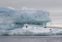 Adelie Penguins on a small iceberg (Paul Cottis) Tags: paulcottis 1 february 2019 feb antarctica antarcticpeninsula ice iceberg ocean adelie penguin pinguino de adelia