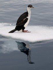 Reflection of an Antarctic Cormorant (phalacrocorax bransfieldensis) on very small ice flow (Paul Cottis) Tags: paulcottis 1 february 2019 feb antarctica antarcticpeninsula ice iceberg ocean cormorant shag seabird cormoran antartico reflection