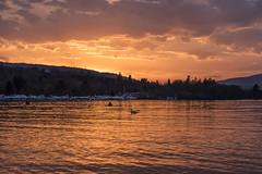 Sunset on the lake (mystero233) Tags: sunset sun dusk lake water orange sky swan port scotland scottish baloch loch lochlomond lomond nature animal outdoor travel reflection forest uk britain england europe