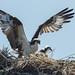 DSC_5440.jpg Osprey family, Watsonville