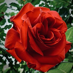 red rose (delnaet) Tags: flower bloem fleur roos rose rood red rouge