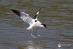 Avocet (Simon Stobart) Tags: avocet recurvirostra avosetta north east england flying water uk