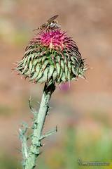Carduus-granatensis-y Parageron incisus (Lucas Gutiérrez) Tags: carduusgranatensis parageron dipteros sierranevada laalpujarra pórtugos granadanatural
