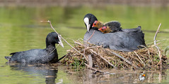 Coot Family (Simon Stobart) Tags: coot fulica atra family nest young feeding north east england uk