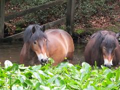 IMG_0722 (belight7) Tags: burnham beeches uk forest walk england pony