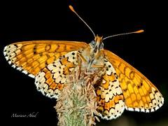Macro Butterfly (marianoabad1) Tags: mariposa butterfly fotografíamacro mzuiko60mmf28macro mzuiko omdem1markii olympus macro naturaleza wildlifephotography wildlife naturephotography nature