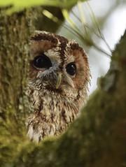 Tawny Owl #2 (MJ Harbey) Tags: owl tawnyowl brownowl strixaluco aves strigiformes strigidae strix bird hawkconservancytrust weyhill andover hampshire nikon d3300 nikond3300 tree leaves birdofprey