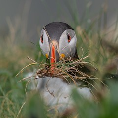 Puffin (kc02photos) Tags: puffin fraterculaarctica bempton yorkshire england uk birdphotography