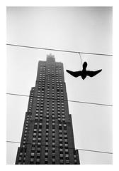 FILM - Bird on a wire (fishyfish_arcade) Tags: 35mm analogphotography bw blackwhite blackandwhite canonsureshotz135 filmphotography filmisnotdead hp5 istillshootfilm monochrome newyork analogcamera compact film ilford mono 30rock rockefellercenter skyscraper bird