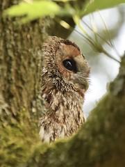 Tawny Owl #1 (MJ Harbey) Tags: owl tawnyowl brownowl strixaluco aves strigiformes strigidae strix hawkconservancytrust weyhill andover hampshire uk bird nikon d3300 nikond3300 tree leaves birdofprey
