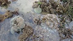 Various corals at Pulau Semakau (North) (wildsingapore) Tags: pulau semakau north cnidaria scleractinia singapore marine coastal intertidal shore seashore marinelife nature wildlife underwater wildsingapore