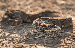 Puff Adder (Photo Lab by Ross Farnham) Tags: leopardsong game reserve south africa sony 100400mm a9 rossfarnham wildlife snake puff adder