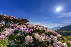 高山杜鵑 (Benz Yu) Tags: 合歡山東峰 高山杜鵑 海拔3421公尺 玉山杜鵑 日出 藍天白雲 星芒 風景 花卉 台灣百岳 山岳 sigma14mmf18art