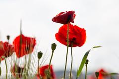 2019-6-6 Poppy's © 130 a (Jacques Sper) Tags: poppy bloem flower outdoor oostvlaanderen westvlaanderen kleur color