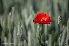 2019-6-6 Poppy's © 148 (Jacques Sper) Tags: poppy bloem flower outdoor oostvlaanderen westvlaanderen kleur color