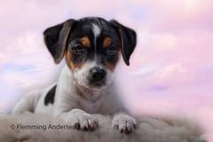Pink Lady (The Papa'razzi of dogs) Tags: vejle centraldenmarkregion denmark dog puppy pink lilly cute dansksvenskgårdhund