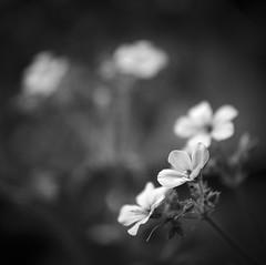 Geranium maderense (RoryO'Bryen) Tags: geranium summer garden jardín roryobryen copyrightroryobryen rolleiflex mediumformat mittelformat analoguephotography noiretblanc blackandwhite biancoenero pretoebranco iso125 rodinal flower fleur flor fiore cambridge