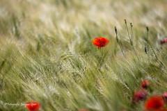 2019-6-6 Poppy's © a149 + 150 (Jacques Sper) Tags: poppy bloem flower outdoor oostvlaanderen westvlaanderen kleur color
