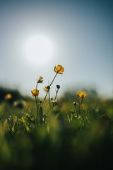 lovely nature (robert.lindholm87) Tags: canon eos eosr nature contrejour backlit mirrorless zeiss milvus 35mm macro closeup bokeh lightroom flowers flower yellow sky blue sun green sweden