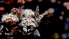 Distelfalter (Vanessa cardui) (dl1ydn) Tags: dl1ydn falter schmetterling garden carlzeiss tessar 100f35 bokeh altglas oldlens manual manuell