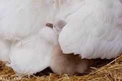 Gimme Shelter (flipkeat) Tags: mute swan cygnet birds bird closeup birdwatching birding nature wildlife ontario portcredit mississauga baby awesome different adorable naturewatching