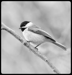 Black-Capped Chickadee (vui.la9) Tags: