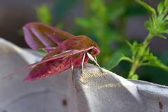 Elephant Hawk-moth ... Deilephila elpenor (AndyorDij) Tags: elephanthawkmoth deilephilaelpenor andrewdejardin insect insects moth lepidoptera england empingham empinghammoths rutland uk unitedkingdom nationalmothweek