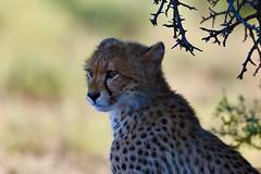 Cheetah Cub looking at its playing siblings (cirdantravels (Fons Buts)) Tags: specanimal naturethroughthelens coth5 ngc easterncape wildlife carnivora predator wildafrica africansafari cheetah jachtluipaard guépard gepard acinonyxjubatus feline felidae felinae