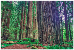 AVENUE OF THE GIANTS-HUMBOLDT REDWOODS STATE PARK-NORTH ENTRANCE-HDR-6-4-2019-WHITE BORDER-6121WX4120H-96PPI- © Cody Jacobson-ZEN MOUNTAIN MEDIA all rights reserved (codyjacobson@zenmountainmedia.com) Tags: portfolio landscape photography avenueofthegiants redwoods state park ca nikon samsung galaxy s8 canon t6i digital retouching aurorahdr photoshop luminar flex hdr exposure bracketing humboldt county ferns flowers spring morning sunrise giants sequoiasempervirens nature trees hiking outdoors picoftheday photo california 2019 tianamensquareanniversary exploringtheartofimagination zenmountainmediacom
