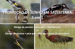 promoção salvaterra (Ricardo Silva (Vanellus)) Tags: salvaterrademagos vanellus aves abrigo fotográfico