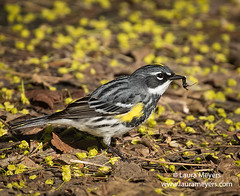 Yellow-rumped Warbler with insect (Laura-Meyers) Tags: greenwoodcemetery birdingbrooklyn