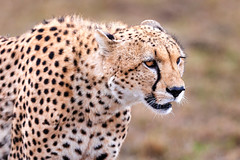 Defeated (Xenedis) Tags: acinonyxjubatus africa afrika animal bigcat cat cheetah duma eastafrica grass kenya maasaimara maranorthconservancy mbili milele narokcounty plains republicofkenya riftvalley safari savannah wildlife fh ig