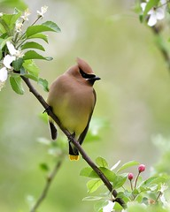 Cedar Waxwing (Photos By JM) Tags: nature birds colonelsamuelsmithpark waxwings