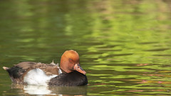 Red-crested pochard  (Netta rufina) (- A N D R E W -) Tags: netta rufina redcrested pochard bird wings spring may nature water reflections colorful colors waves duck 80d tamron 150600mm
