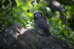 Hawk owl (Korkeasaaren eläintarha) Tags: korkeasaareneläintarha korkeasaarizoo helsinkizoo korkeasaari högholmen eläimet linnut pöllöt hiiripöllö hawkowl