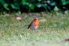 Just another robin (Lux Aeterna - Eternal Light) Tags: robin bird