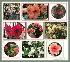 """""""There's only one problem with the beauty of Springtime — always running out of film!"""" (martian cat) Tags: ribbet amaryllis hibiscus rose succulent flower nature succulents epiphylium cactus orchidcactus inspirational macro ©martiancatinjapan allrightsreserved© lily ©allrightsreserved martiancatinjapan© ☺allrightsreserved allrightsreserved ☺martiancatinjapan creativity martiancat martiancat© ©martiancat martiancatinjapan balconygarden mybalconygarden gardening hobby onwhite specialmessage naturemosaic mosaic"""