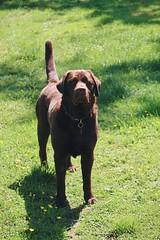 06.06.2019 (tabethashort) Tags: new summer dog sun colour green sunshine june labrador photographer chocolate somerset retriever uk england southwest