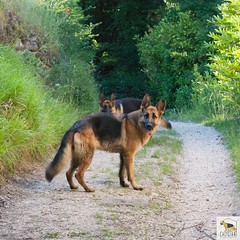 German Sherherd (Allevamento Casa Caligiani) Tags: germanshepherd pastoretedesco schäferhund gsd dog cane italia umbria bevagna