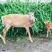 Deer neighbors