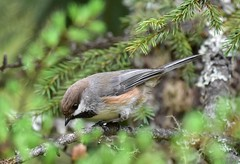Boreal Chickadee (trombh) Tags: borealchickadee
