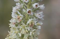 White Mignonette (Reseda alba) (macronyx) Tags: nature blommor växter växt flowers flower plants plant vitreseda reseda resedaalba mignonette whitemignonette
